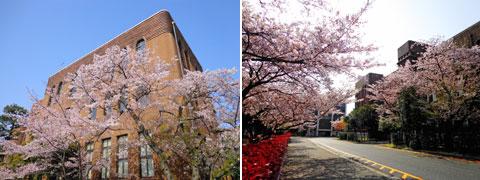 九州大学の桜