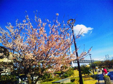 瀬戸大橋の桜
