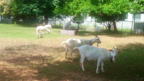 農学部の山羊