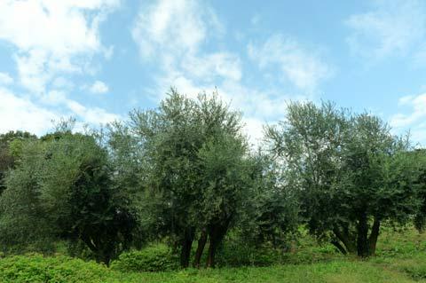 オリーブ収穫祭