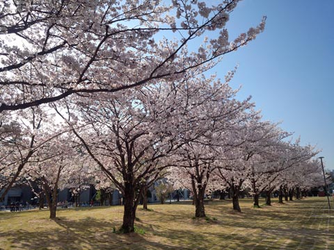 岡山大学の桜