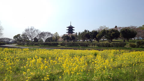 五重塔と菜の花