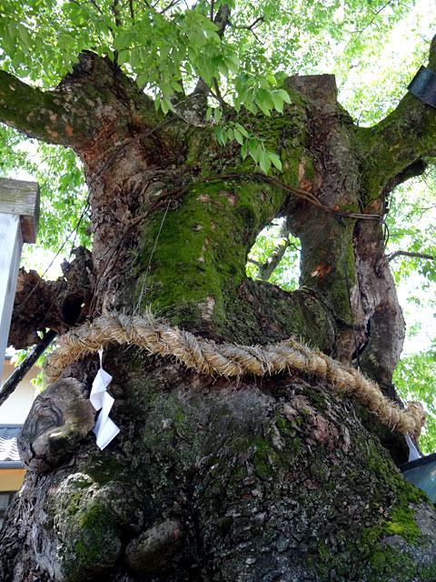 樹齢800年を超える「祝木のケヤキ」