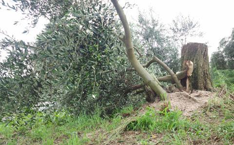 台風一過オリーブ園の木
