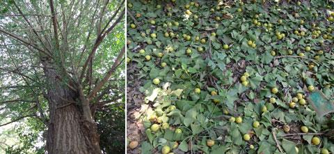 大銀杏の木からは実(銀杏)がほとんど落下した