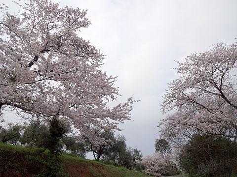 オリーブと桜
