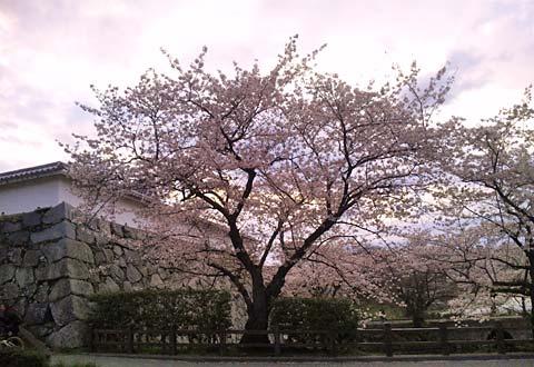 舞鶴公園の夕桜