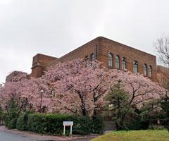 九州大学の桜2