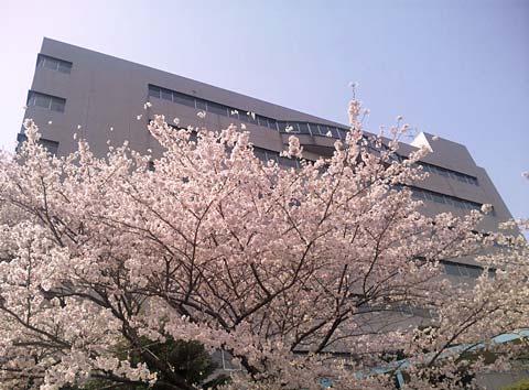 愛知学泉大学の桜